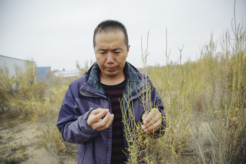 Ma Junhe observes saxaul growth on planting lands in Minqin County, Gansu province, Oct.15, 2019. Wu Huiyuan/Sixth Tone