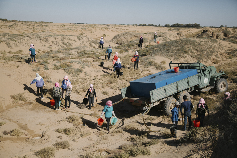 Residents from villages near the Tengger Desert work in Minqin County, Gansu province, Oct.14, 2019. They are paid to plant saxaul in the desert. Wu Huiyuan/Sixth Tone