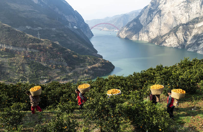 Farmhands carry oranges in large baskets on their backs in Zigui County, Hubei province, Dec. 19, 2019. Zheng Jiayu/Xinhua