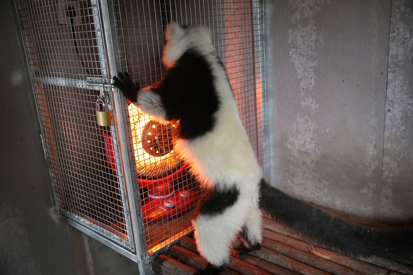 A black-and-white ruffed lemur clings to a cage containing a heater at the Nantong Forest Safari Park in Nantong, Jiangsu province, Nov. 25, 2019. Xu Congjun/VCG