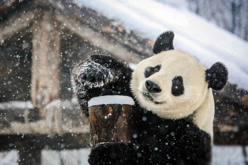 A giant panda enjoys a snow day in Jinan, Shandong province, Jan. 7, 2020. Gong Yuewen/CNS