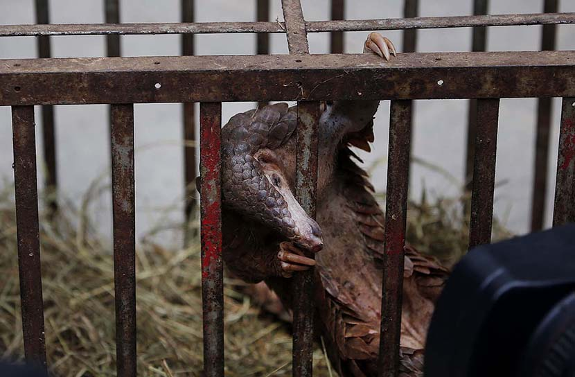 A smuggled pangolin confiscated by police peeks its head through the bars of its cage in Kunming, Yunnan province, Jan. 22, 2014. Lang Xiaowei/VCG