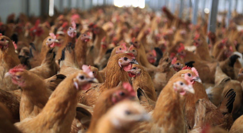 A chicken farm in Huai'an, Jiangsu province, April 3, 2018. Zhao Qirui/IC