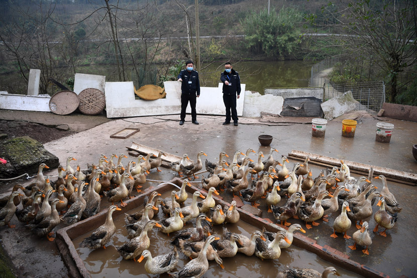 Officials from a local veterinary department inspect a duck farm in Chongqing, Feb. 14, 2020. Tang Yi/Xinhua