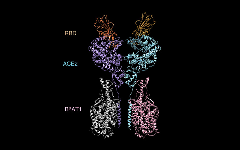 A 3D reconstruction of an RBD-ACE2 complex shows how the new coronavirus binds to human ACE2 enzymes before invading cells. Courtesy of Westlake University