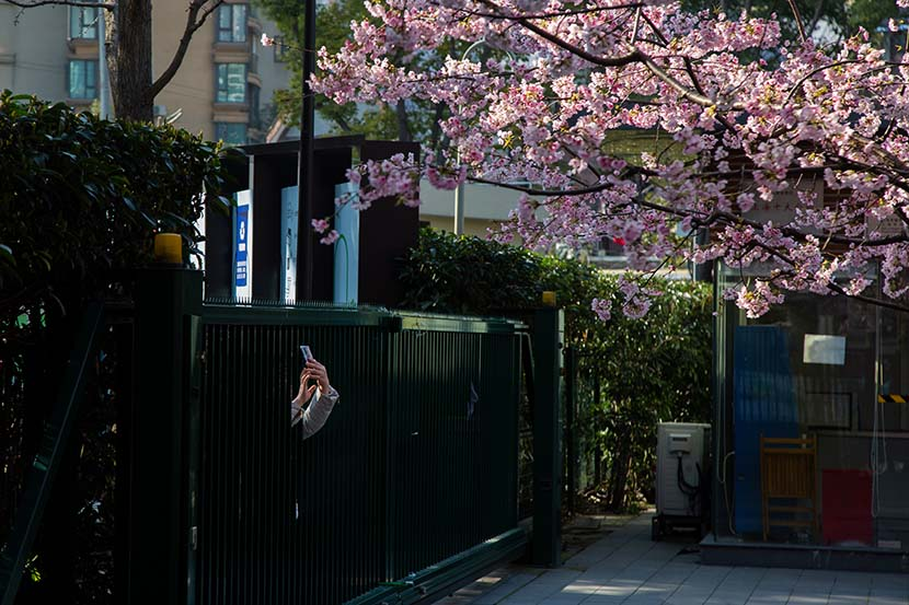 A woman photographs cherry blossoms through a fence in Shanghai, March 5, 2020. Shi Yangkun/Sixth Tone