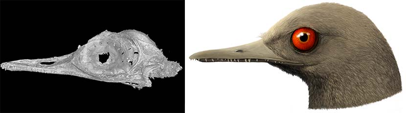Left: An image of the skull of Oculudentavis khaungraae generated by 3D computed tomography reconstruction technology; right: A visual rendering of the ancient bird based on its skull. Courtesy of Xing Lida