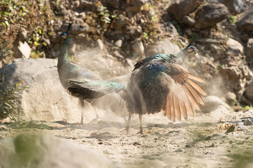 Green peafowl inhabit the Lancang River Basin in Yunnan province, 2018. Courtesy of Zhuang Xiaosong/Wild China Film