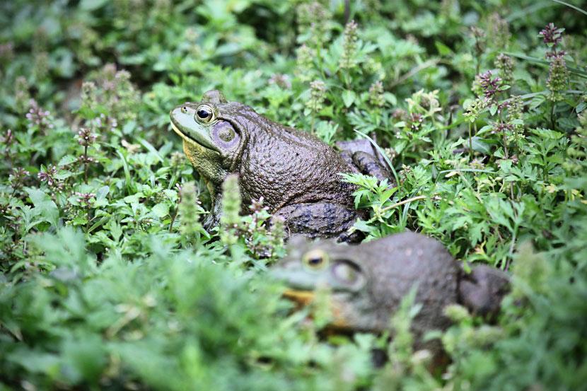 Bullfrogs at a breeding farm in Shaoyang, Hunan province, Apirl 24, 2018. Luo Zheming/VCG