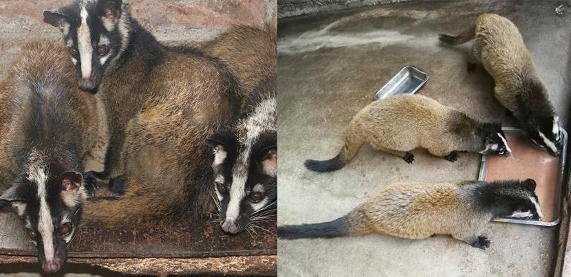 Civets raised by Rao Xiaojian's company in Wan'an, Jiangxi province. Courtesy of Rao Xiaojian