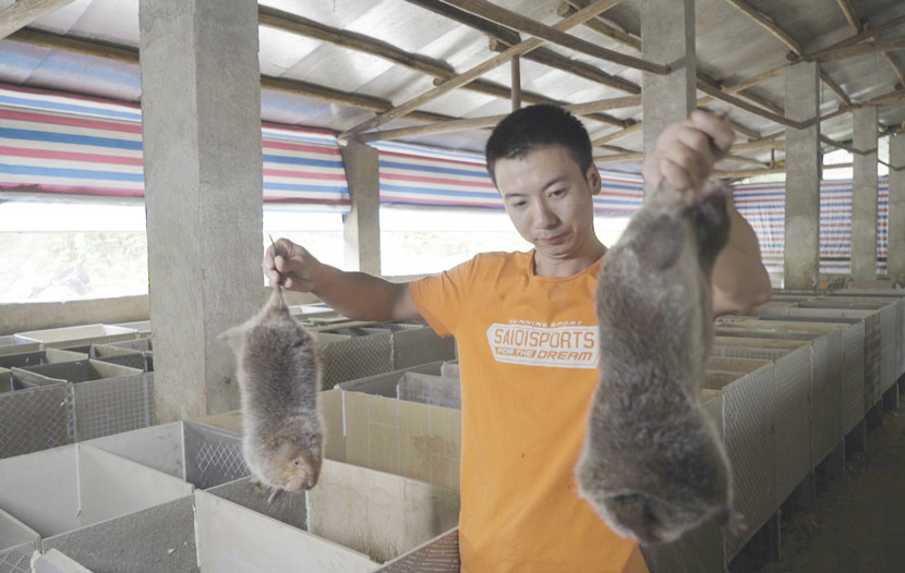 Liu Suliang, one of the Huanong Brothers, holds up two bamboo rats by their tails inside a barn in Nanjing Town, Jiangxi province, Sept. 26, 2018. Tang Xiaolan/Sixth Tone