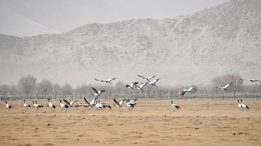 Black-necked cranes congregate in a field near the Yarlung Zangbo River near Shannan in the Tibet Autonomous Region, March 11, 2020. Jinmei Duoji/Xinhua