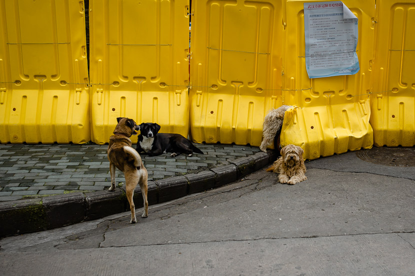 Dogs play in Wuhan, Hubei province, March 22, 2020. Gerry Yin/Wild Photos