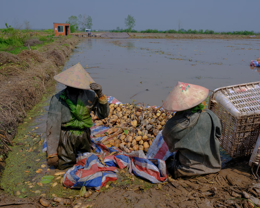 Workers prepare to transfer lotus roots near a muddy field in Wuhan, Hubei province, April 12, 2020. Shi Yangkun/Sixth Tone