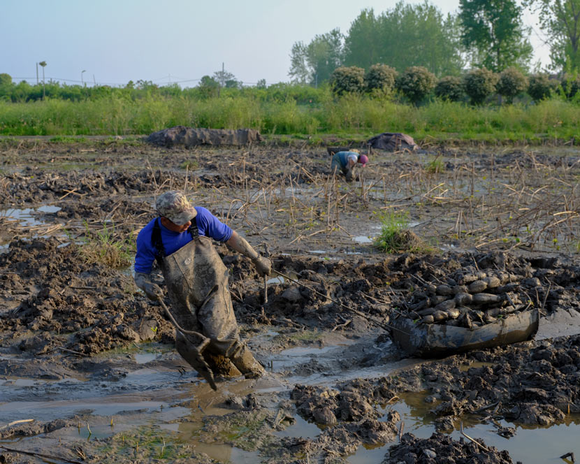A worker pulls lotus roots along a muddy field in Wuhan, Hubei province, April 12, 2020. Shi Yangkun/Sixth Tone