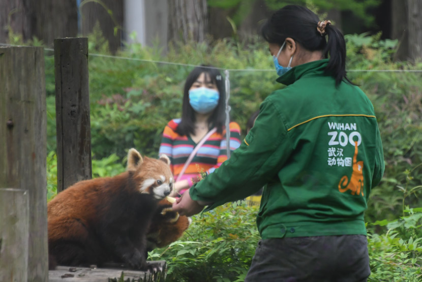 A visitor watches a red panda feeding at Wuhan Zoo, Hubei province, April  22, 2020. Cheng Min/Xinhua