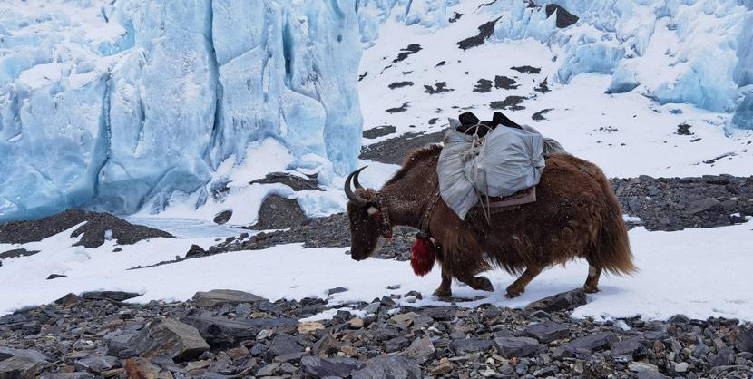 A yak lugs gear on Mount Everest in Shigatse, Tibet Autonomous Region, May 20, 2020. Jinmei Duoji/Xinhua