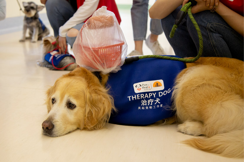 A golden retriever waits for an animal-assisted therapy session in Shanghai, June 1, 2020. Shi Yangkun/Sixth Tone