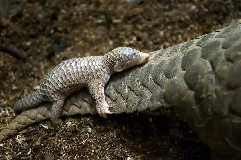 A baby pangolin hangs on its mother's tail. Ning Feng/Chinese Business View/People Visual