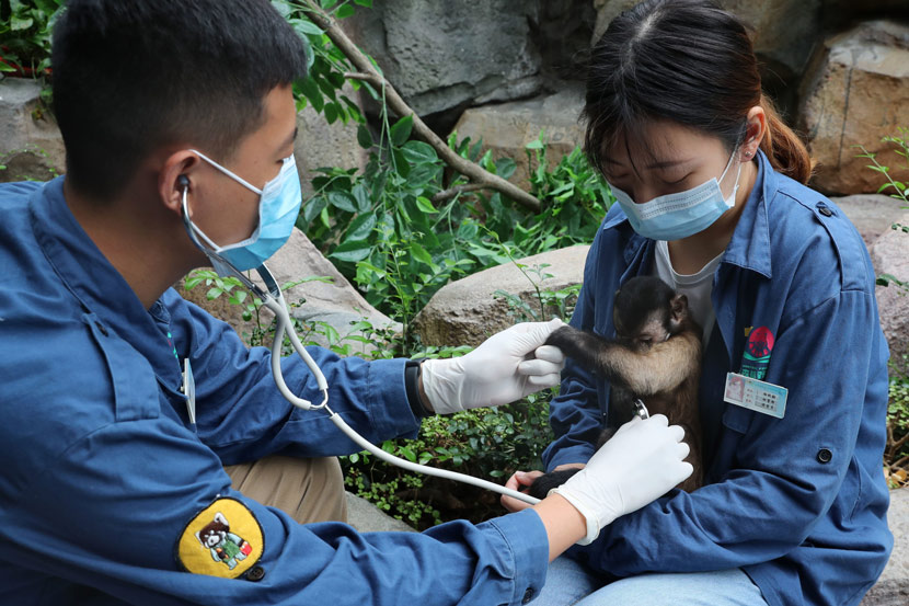 A zookeeper examines a brown capuchin monkey at the Nantong Forest Safari Park, in Nantong, Jiangsu province, June 16, 2020. Xu Congjun/IC