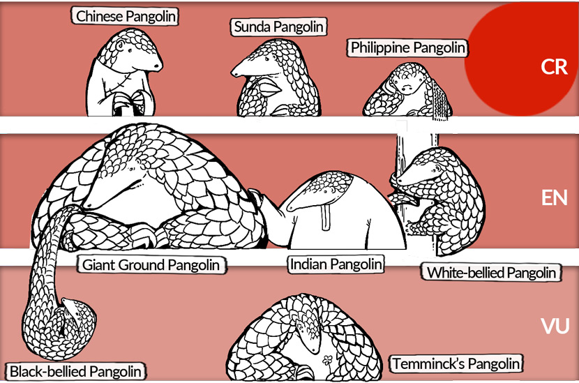 Eight species of pangolin are included on the International Union for Conservation of Nature's Red List of Threatened Species. Illustrated by Hiaomao, edited by Ding Yining/Sixth Tone