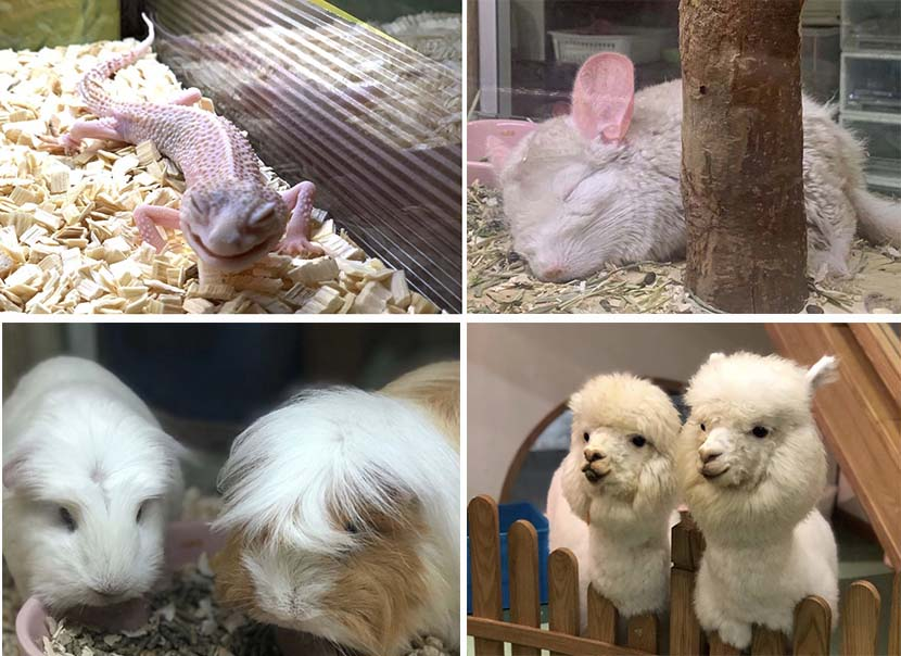 A selection of uncommon pets at an animal café in Shanghai. Courtesy of Mothy Garden