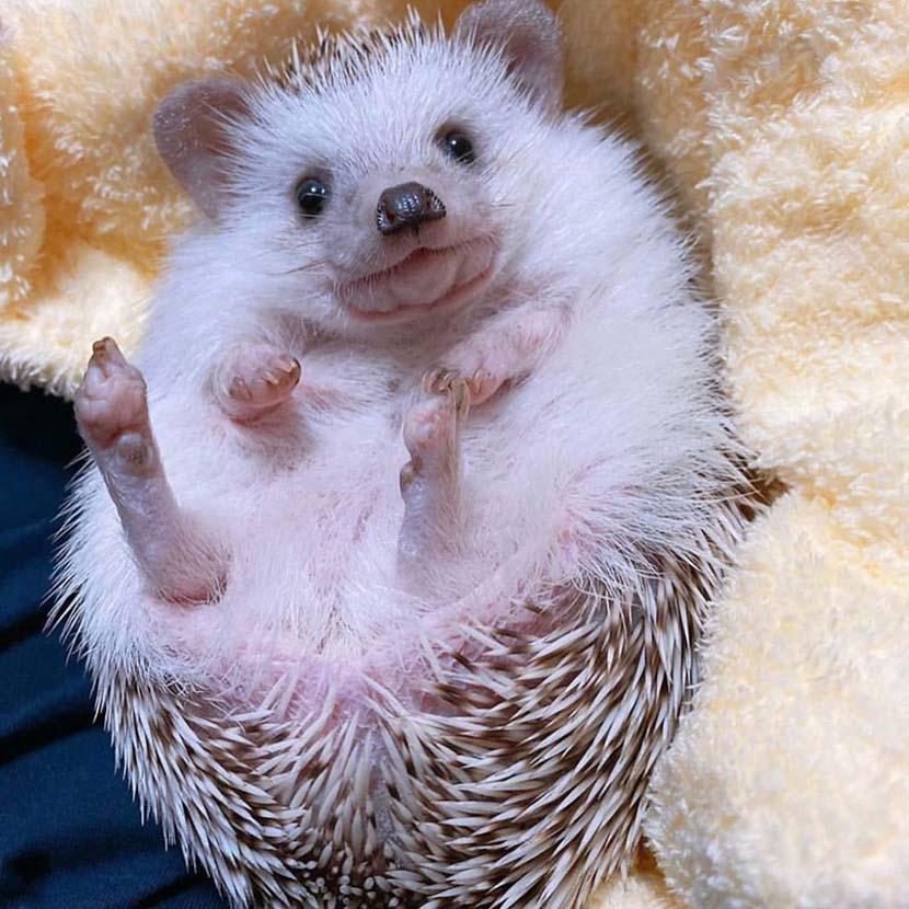 Zhu Miaohan's pet hedgehog Momo. Courtesy of Zhu