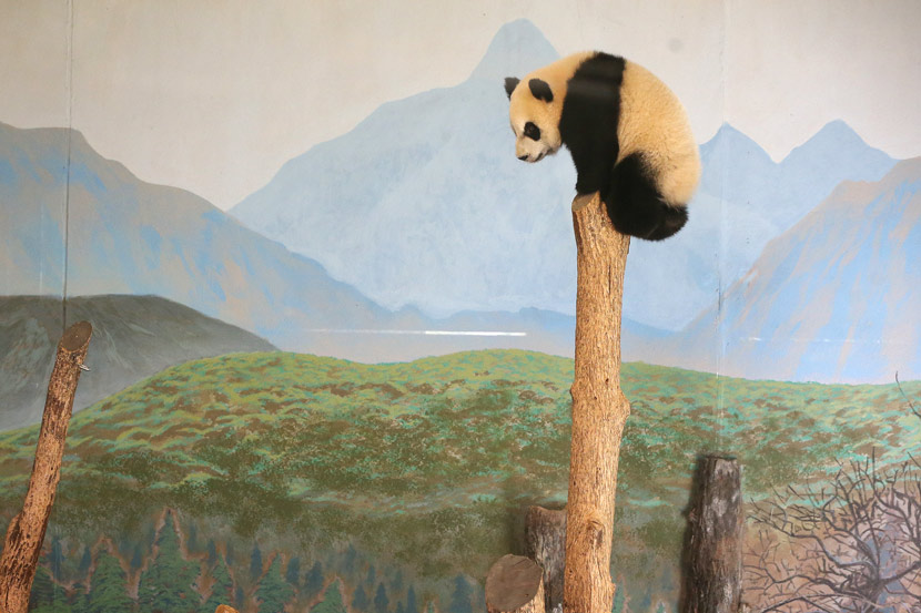 Jia Yueyue is perched atop an artificial tree trunk in her enclosure at the Toronto Zoo in Ontario, Canada, Oct. 8, 2016. Steve Russell/Toronto Star/People Visual
