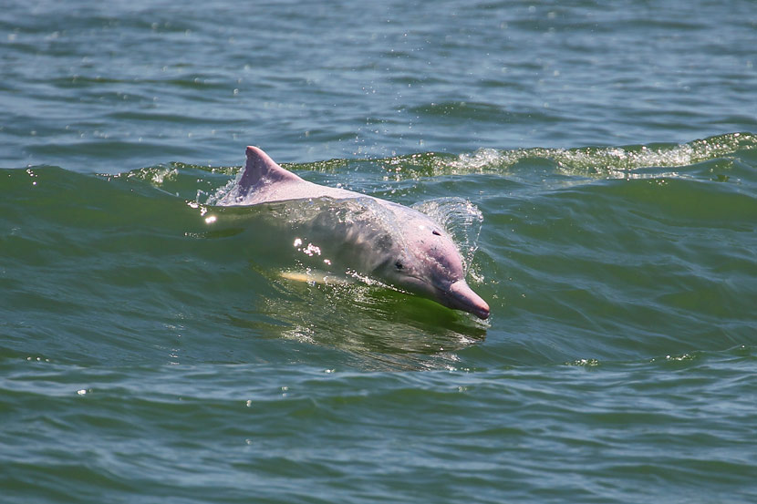 A Chinese white dolphin swims in the Pearl River near Zhuhai, Guangdong province, May 31, 2013. Courtesy of Mo Yaqian