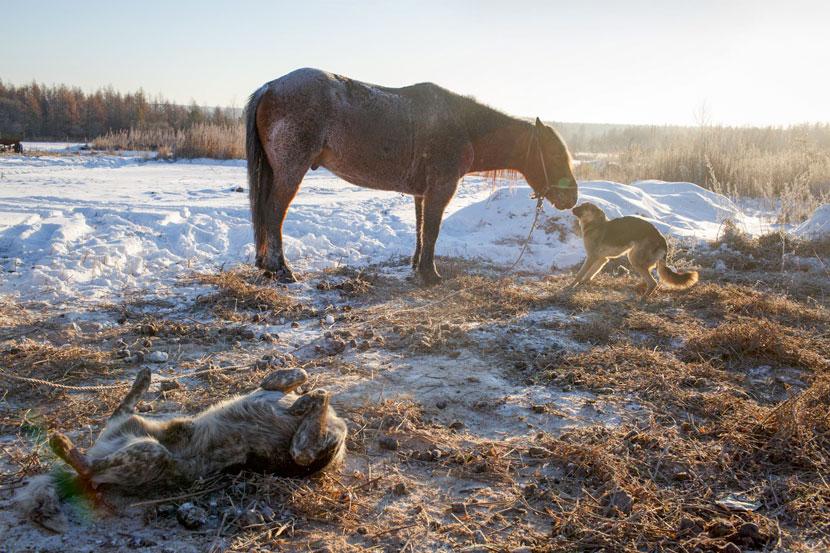 A hound sniffs a horse in Xinsheng Township, Heihe, Heilongjiang province, Nov. 25, 2016. Zhou Pinglang/Sixth Tone