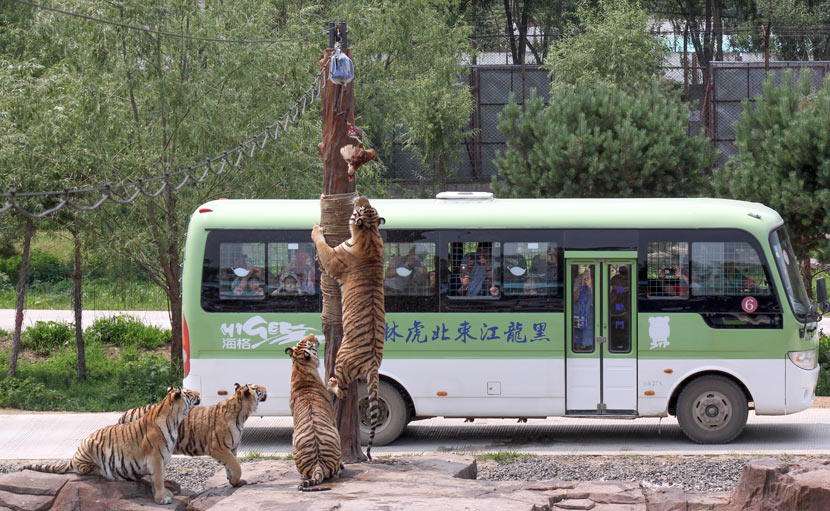 Tourists watch Siberian tigers feed from inside a bus at the Siberian Tiger Park in Harbin, Heilongjiang province, June 27, 2017. Courtesy of Zhu Yuehan/Siberian Tiger Park