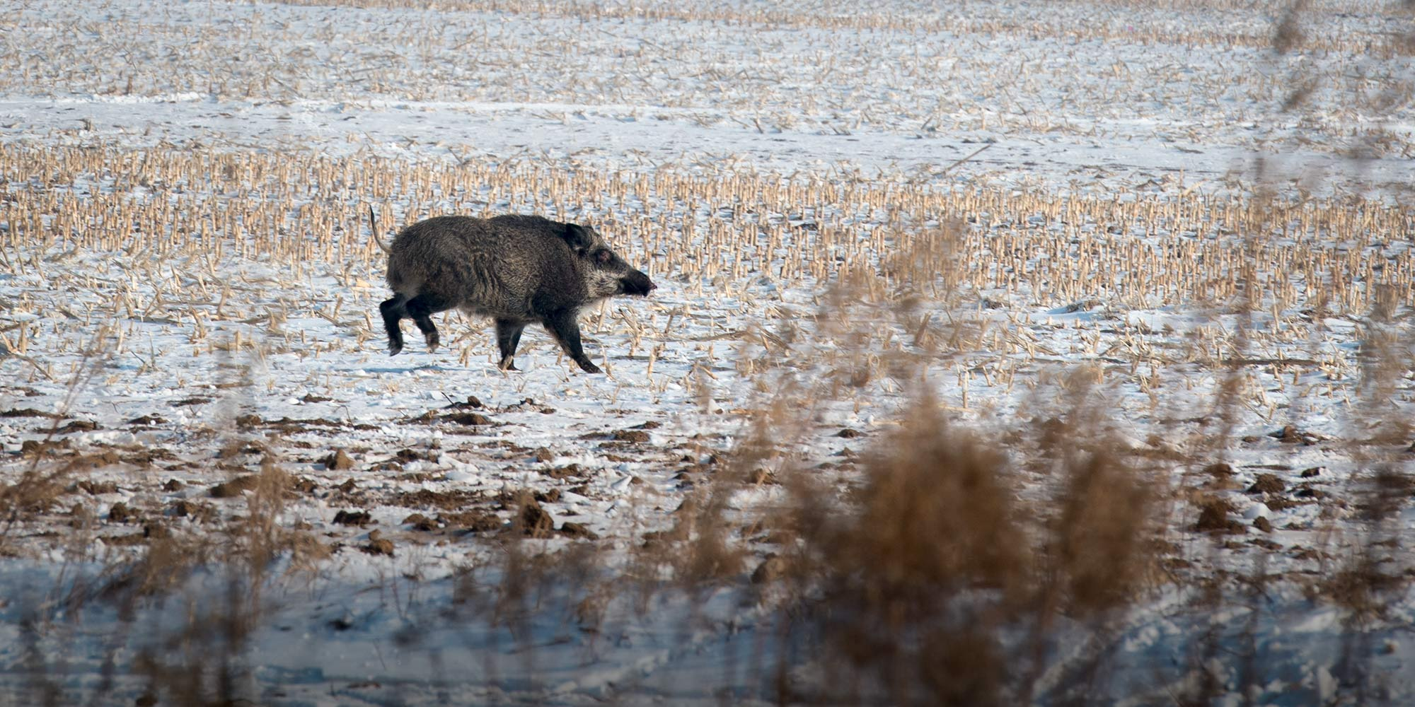 China's Farmers Have a Feral Hog Problem. What Now?