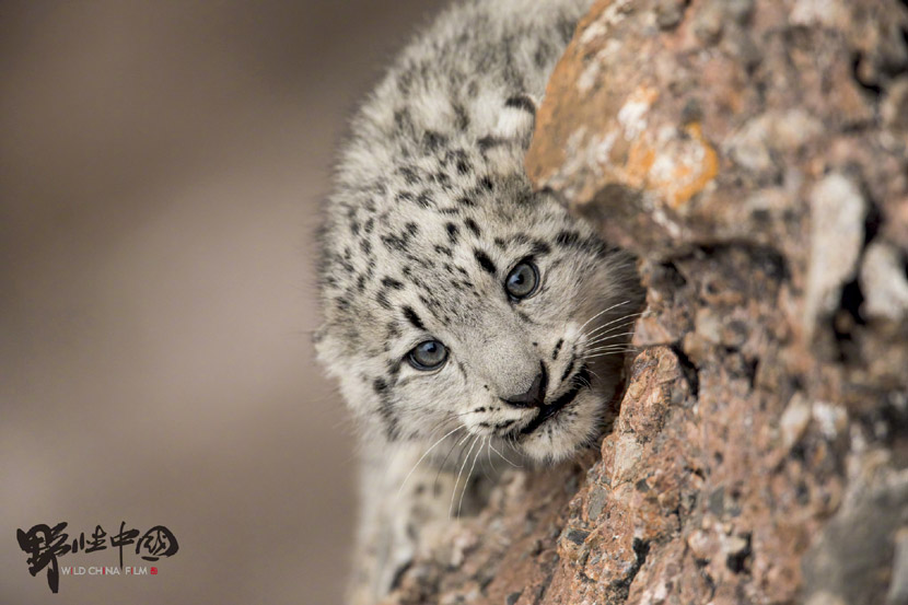 Tshultan's viral photo of a baby snow leopard. From Wild China Film