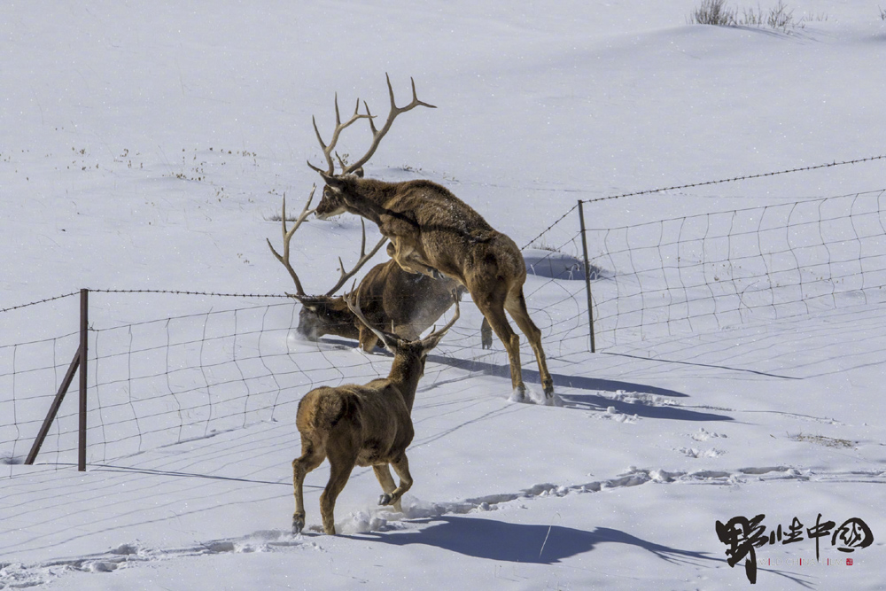 A photo by Konchok Chöphel showing Thorold's deer leaping over a barbed wire fence. The fences keep livestock safe, but can be deadly to local wildlife. From Wild China Film