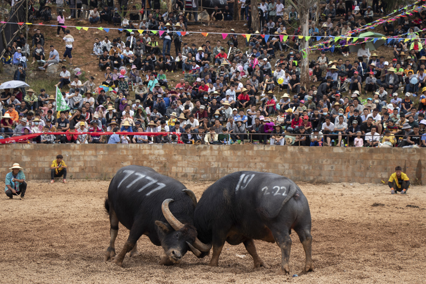 "Bull 7777, known as ""Little Shanghai,"" battles his opponent during a tournament in Shilin Yi Autonomous County, Yunnan province, October 2020. Kenrick Davis/Sixth Tone"
