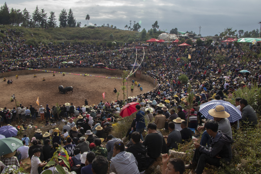 A crowd gathers around a hillside to watch bullfights at an event in Shilin Yi Autonomous County, Yunnan province, October 2020. Kenrick Davis/Sixth Tone