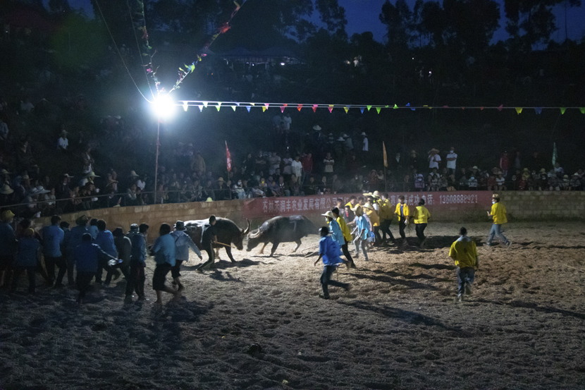 Two bulls surrounded by cowboy handlers fight late into the night during the final stages of the competition in Shilin Yi Autonomous County, Yunnan province, October 2020. Kenrick Davis/Sixth Tone