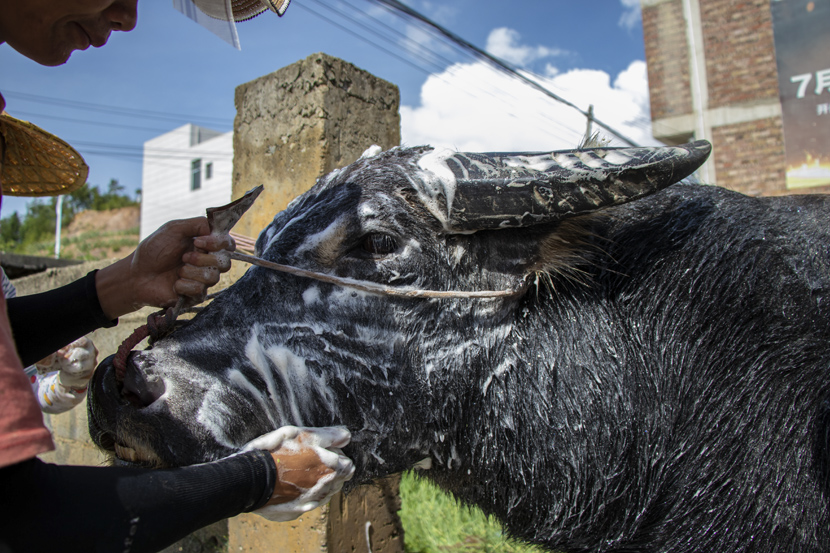 The Huang siblings and a friend wash their family's bull with shampoo in Guangshun Town, Guizhou province, October 2020. Kenrick Davis/Sixth Tone