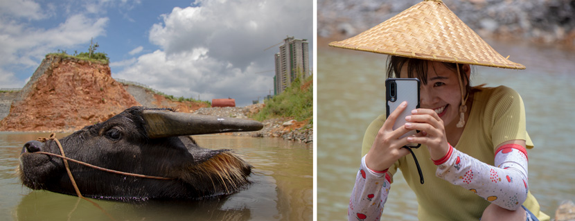 Left: Huang Fei's bull swims in a pool by a disused quarry; Right: Huang Fei takes pictures at the pool near Guiyang, Guizhou province, October 2020. Kenrick Davis/Sixth Tone