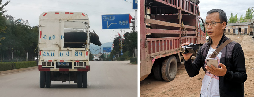 Left: A bull is transported to a tournament; Right: Shi Qunchun livestreams and films a famous bull outside a large bullfight arena in Shilin Yi Autonomous County, Yunnan province, October 2020. Kenrick Davis/Sixth Tone