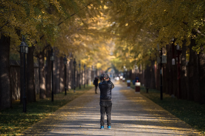 A man takes photos of gingko leaves in Beijing, Nov. 4, 2020. CuiNan/CNS/People Visual