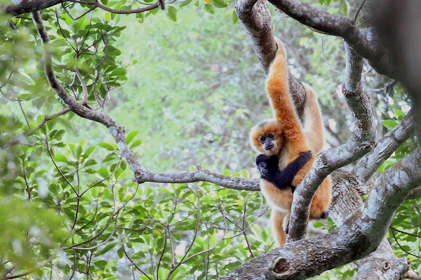 A young Hainan gibbon clings to its mother in the Bawangling National Nature Reserve, Hainan Province, 2015. When born, both male and female gibbons have lighter fur, which turns black after about a year. When females reach maturity, their fur turns golden. Courtesy of Lu Gang/Kadoorie Farm & Botanic Garden
