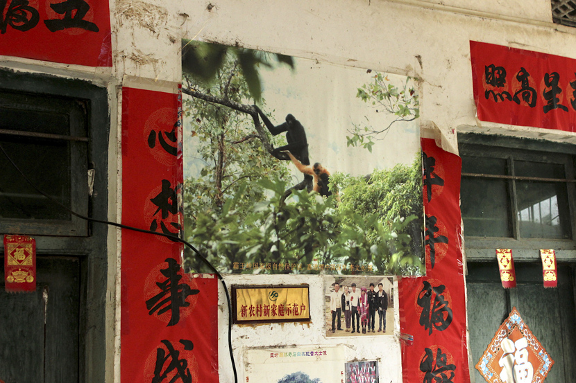 An old photo of a pair of Hainan gibbons taped to the wall of Li Wenyong's home in Qicha Town, Hainan province. Courtesy of James Dinneen