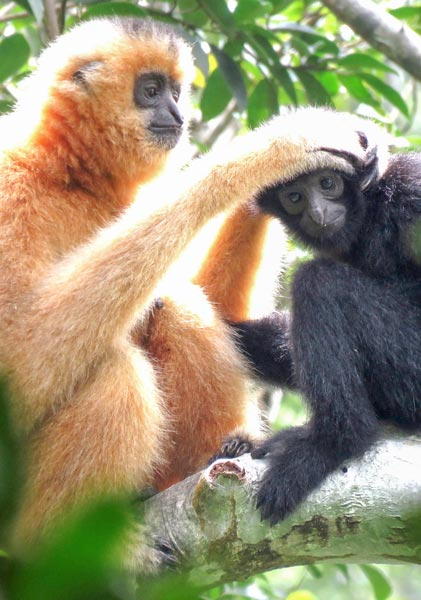 An adult female Hainan gibbon grooms a member of its tribe in the Bawangling National Nature Reserve, in Hainan Province. Courtesy of Kadoorie Farm & Botanic Garden