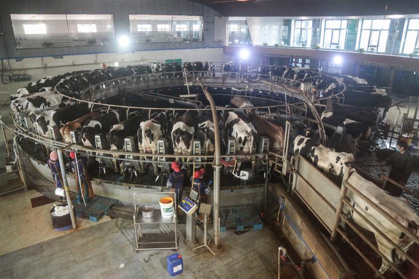 Cows during their morning milking at the Yinxiang Weiye dairy farm in Heze, Shandong province, Nov. 6, 2020. Li You/Sixth Tone