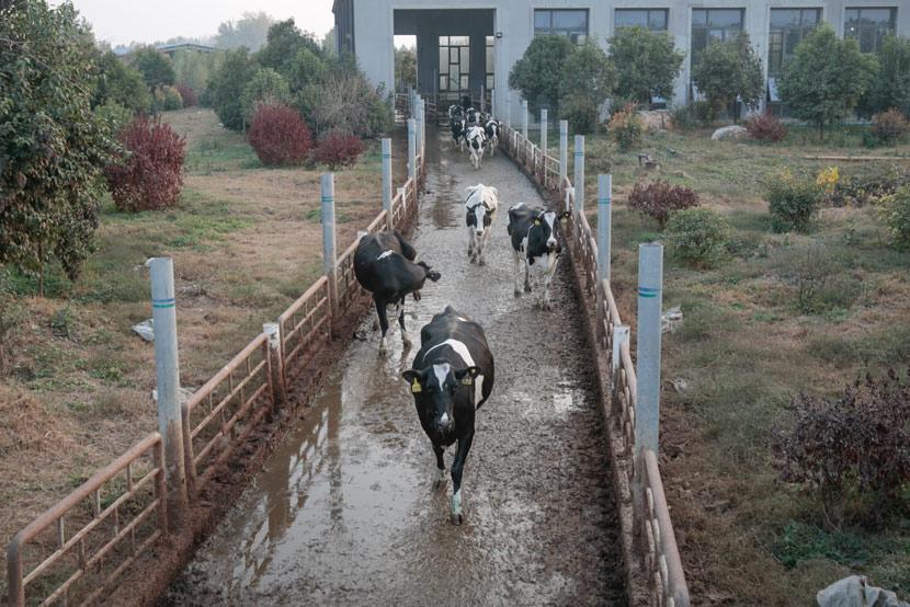 Cows walk in an outdoor corridor at the Yinxiang Weiye dairy farm in Heze, Shandong province, Nov. 6, 2020. Li You/Sixth Tone