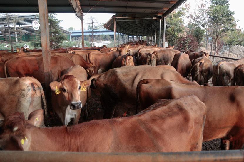Jersey cows at the Yinxiang Weiye dairy farm in Heze, Shandong province, Nov. 6, 2020. Li You/Sixth Tone