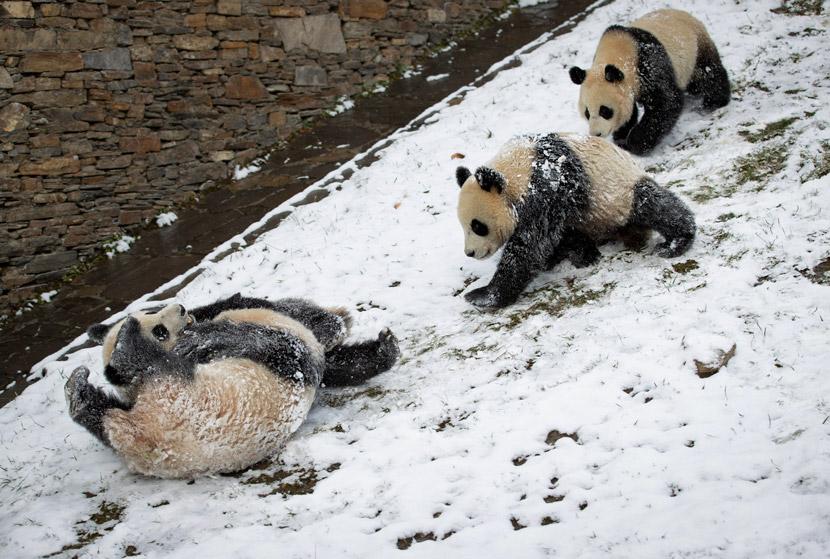 Giant panda cubs frolic in the snow at the Wolong Giant Panda Center, Sichuan province, Dec. 17, 2020. Jiang Hongjing/Xinhua