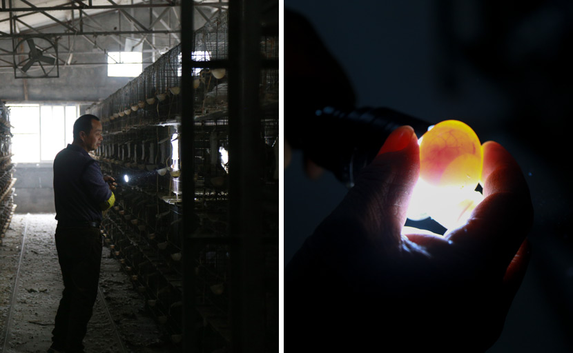 Left: A worker checks on the pigeons at Zhong Shengliang's farm; Right: A worker inspects a pigeon egg at the farm in Pingyang County, Wenzhou, Zhejiang province, Dec. 12, 2020. Wu Peiyue for Sixth Tone