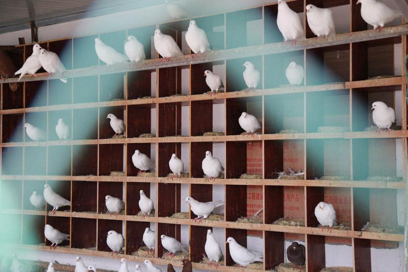 Pigeons are perched inside a building at Zhong Shengliang's farm in Pingyang County, Wenzhou, Zhejiang province, Dec. 12, 2020. Wu Peiyue for Sixth Tone